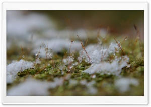 Snowflakes On Moss HD Wide Wallpaper for 4K UHD Widescreen desktop & smartphone