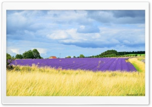 Snowshill Lavender Gardens HD Wide Wallpaper for Widescreen