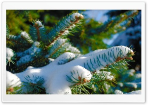 Snowy Blue Spruce HD Wide Wallpaper for Widescreen