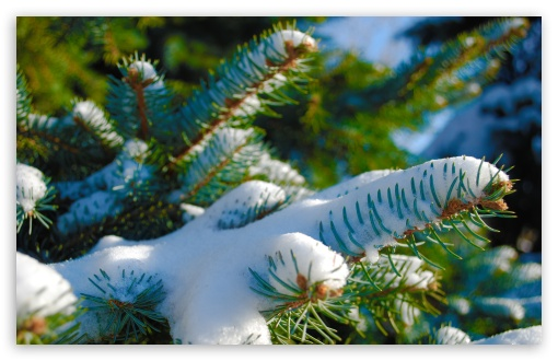 Snowy Blue Spruce HD wallpaper for Standard 4:3 5:4 Fullscreen UXGA XGA SVGA QSXGA SXGA ; Wide 16:10 5:3 Widescreen WHXGA WQXGA WUXGA WXGA WGA ; HD 16:9 High Definition WQHD QWXGA 1080p 900p 720p QHD nHD ; Other 3:2 DVGA HVGA HQVGA devices ( Apple PowerBook G4 iPhone 4 3G 3GS iPod Touch ) ; Mobile VGA WVGA iPhone iPad PSP Phone - VGA QVGA Smartphone ( PocketPC GPS iPod Zune BlackBerry HTC Samsung LG Nokia Eten Asus ) WVGA WQVGA Smartphone ( HTC Samsung Sony Ericsson LG Vertu MIO ) HVGA Smartphone ( Apple iPhone iPod BlackBerry HTC Samsung Nokia ) Sony PSP Zune HD Zen ; Tablet 2 Android 3 DVGA HVGA HQVGA devices ( Apple PowerBook G4 iPhone 4 3G 3GS iPod Touch ) ;