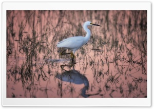 Snowy Egret Bird Habitat HD Wide Wallpaper for 4K UHD Widescreen desktop & smartphone
