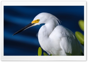 Snowy Egret Egretta thula Bird Ultra HD Wallpaper for 4K UHD Widescreen desktop, tablet & smartphone