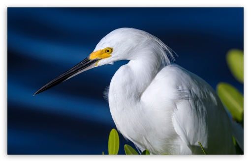 Snowy Egret Egretta thula Bird UltraHD Wallpaper for Wide 16:10 5:3 Widescreen WHXGA WQXGA WUXGA WXGA WGA ; UltraWide 21:9 24:10 ; 8K UHD TV 16:9 Ultra High Definition 2160p 1440p 1080p 900p 720p ; UHD 16:9 2160p 1440p 1080p 900p 720p ; Standard 4:3 5:4 3:2 Fullscreen UXGA XGA SVGA QSXGA SXGA DVGA HVGA HQVGA ( Apple PowerBook G4 iPhone 4 3G 3GS iPod Touch ) ; Tablet 1:1 ; iPad 1/2/Mini ; Mobile 4:3 5:3 3:2 16:9 5:4 - UXGA XGA SVGA WGA DVGA HVGA HQVGA ( Apple PowerBook G4 iPhone 4 3G 3GS iPod Touch ) 2160p 1440p 1080p 900p 720p QSXGA SXGA ; Dual 16:10 5:3 4:3 5:4 3:2 WHXGA WQXGA WUXGA WXGA WGA UXGA XGA SVGA QSXGA SXGA DVGA HVGA HQVGA ( Apple PowerBook G4 iPhone 4 3G 3GS iPod Touch ) ;