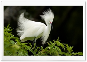 Snowy Egret In Breeding Plumage Florida HD Wide Wallpaper for Widescreen