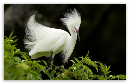 Snowy Egret In Breeding Plumage Florida HD wallpaper for Wide 16:10 5:3 Widescreen WHXGA WQXGA WUXGA WXGA WGA ; HD 16:9 High Definition WQHD QWXGA 1080p 900p 720p QHD nHD ; Standard 4:3 5:4 3:2 Fullscreen UXGA XGA SVGA QSXGA SXGA DVGA HVGA HQVGA devices ( Apple PowerBook G4 iPhone 4 3G 3GS iPod Touch ) ; Tablet 1:1 ; iPad 1/2/Mini ; Mobile 4:3 5:3 3:2 16:9 5:4 - UXGA XGA SVGA WGA DVGA HVGA HQVGA devices ( Apple PowerBook G4 iPhone 4 3G 3GS iPod Touch ) WQHD QWXGA 1080p 900p 720p QHD nHD QSXGA SXGA ;