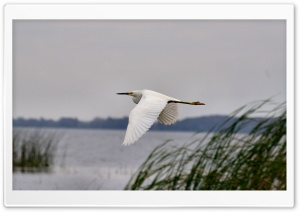 Snowy Egret in Flight HD Wide Wallpaper for Widescreen