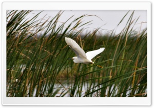 Snowy Egret in the Tullies HD Wide Wallpaper for Widescreen