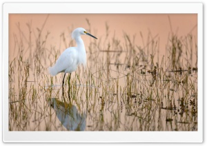 Snowy Egret Water Bird Ultra HD Wallpaper for 4K UHD Widescreen desktop, tablet & smartphone