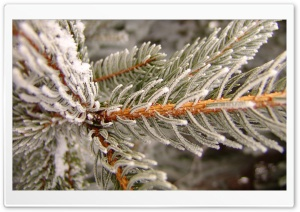 Snowy Fir Tree Branch HD Wide Wallpaper for Widescreen