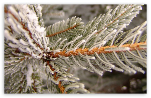 Snowy Fir Tree Branch HD desktop wallpaper : Widescreen : High