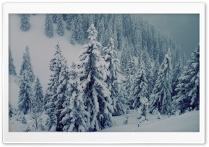 Snowy Fir Trees HD Wide Wallpaper for Widescreen