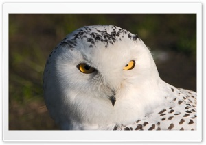 Snowy Owl HD Wide Wallpaper for 4K UHD Widescreen desktop & smartphone