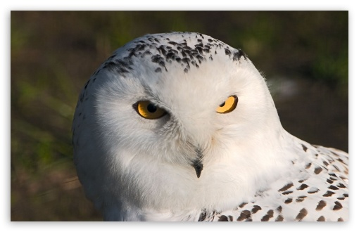 Snowy Owl HD wallpaper for Wide 16:10 5:3 Widescreen WHXGA WQXGA WUXGA WXGA WGA ; HD 16:9 High Definition WQHD QWXGA 1080p 900p 720p QHD nHD ; Standard 4:3 5:4 3:2 Fullscreen UXGA XGA SVGA QSXGA SXGA DVGA HVGA HQVGA devices ( Apple PowerBook G4 iPhone 4 3G 3GS iPod Touch ) ; iPad 1/2/Mini ; Mobile 4:3 5:3 3:2 16:9 5:4 - UXGA XGA SVGA WGA DVGA HVGA HQVGA devices ( Apple PowerBook G4 iPhone 4 3G 3GS iPod Touch ) WQHD QWXGA 1080p 900p 720p QHD nHD QSXGA SXGA ;