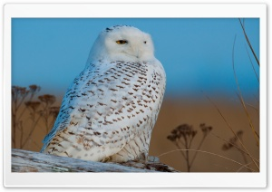 Snowy Owl HD Wide Wallpaper for Widescreen