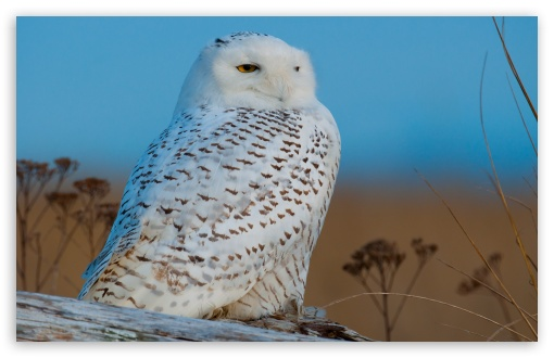 Snowy Owl ❤ 4K UHD Wallpaper for Wide 16:10 5:3 Widescreen WHXGA WQXGA WUXGA WXGA WGA ; 4K UHD 16:9 Ultra High Definition 2160p 1440p 1080p 900p 720p ; UHD 16:9 2160p 1440p 1080p 900p 720p ; Standard 4:3 5:4 3:2 Fullscreen UXGA XGA SVGA QSXGA SXGA DVGA HVGA HQVGA ( Apple PowerBook G4 iPhone 4 3G 3GS iPod Touch ) ; Tablet 1:1 ; iPad 1/2/Mini ; Mobile 4:3 5:3 3:2 16:9 5:4 - UXGA XGA SVGA WGA DVGA HVGA HQVGA ( Apple PowerBook G4 iPhone 4 3G 3GS iPod Touch ) 2160p 1440p 1080p 900p 720p QSXGA SXGA ;