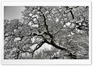 Snowy Tree Branches HD Wide Wallpaper for 4K UHD Widescreen desktop & smartphone