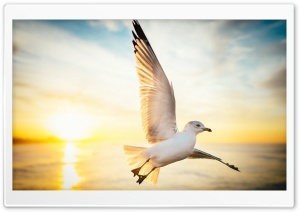 Soar, Seagull Bird, Sunrise HD Wide Wallpaper for 4K UHD Widescreen desktop & smartphone