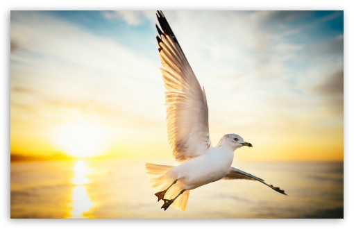 Soar, Seagull Bird, Sunrise ❤ 4K UHD Wallpaper for Wide 16:10 5:3 Widescreen WHXGA WQXGA WUXGA WXGA WGA ; 4K UHD 16:9 Ultra High Definition 2160p 1440p 1080p 900p 720p ; Standard 4:3 5:4 3:2 Fullscreen UXGA XGA SVGA QSXGA SXGA DVGA HVGA HQVGA ( Apple PowerBook G4 iPhone 4 3G 3GS iPod Touch ) ; Smartphone 16:9 3:2 5:3 2160p 1440p 1080p 900p 720p DVGA HVGA HQVGA ( Apple PowerBook G4 iPhone 4 3G 3GS iPod Touch ) WGA ; Tablet 1:1 ; iPad 1/2/Mini ; Mobile 4:3 5:3 3:2 16:9 5:4 - UXGA XGA SVGA WGA DVGA HVGA HQVGA ( Apple PowerBook G4 iPhone 4 3G 3GS iPod Touch ) 2160p 1440p 1080p 900p 720p QSXGA SXGA ;