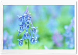Soft Focus Small Blue Flowers HD Wide Wallpaper for Widescreen