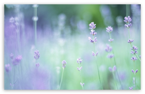 Soft Focus Small Purple Flowers ❤ 4K UHD Wallpaper for Wide 16:10 5:3 Widescreen WHXGA WQXGA WUXGA WXGA WGA ; 4K UHD 16:9 Ultra High Definition 2160p 1440p 1080p 900p 720p ; Standard 4:3 5:4 3:2 Fullscreen UXGA XGA SVGA QSXGA SXGA DVGA HVGA HQVGA ( Apple PowerBook G4 iPhone 4 3G 3GS iPod Touch ) ; Tablet 1:1 ; iPad 1/2/Mini ; Mobile 4:3 5:3 3:2 16:9 5:4 - UXGA XGA SVGA WGA DVGA HVGA HQVGA ( Apple PowerBook G4 iPhone 4 3G 3GS iPod Touch ) 2160p 1440p 1080p 900p 720p QSXGA SXGA ;