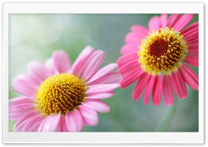 Soft Pink Daisies HD Wide Wallpaper for Widescreen