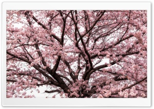 Soft Pink Japanese Cherry Tree Blossom HD Wide Wallpaper for Widescreen