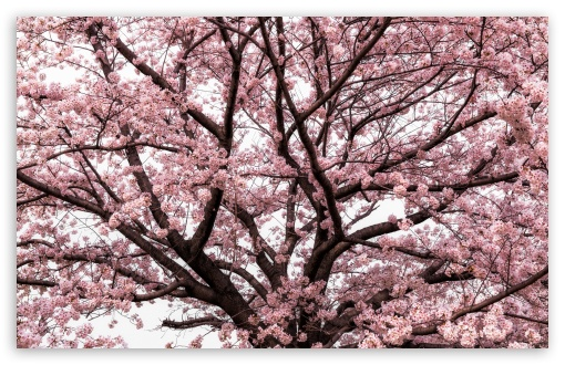 Soft Pink Japanese Cherry Tree Blossom HD wallpaper for Standard 4:3 5:4 Fullscreen UXGA XGA SVGA QSXGA SXGA ; Wide 16:10 5:3 Widescreen WHXGA WQXGA WUXGA WXGA WGA ; HD 16:9 High Definition WQHD QWXGA 1080p 900p 720p QHD nHD ; Other 3:2 DVGA HVGA HQVGA devices ( Apple PowerBook G4 iPhone 4 3G 3GS iPod Touch ) ; Mobile VGA WVGA iPhone iPad PSP Phone - VGA QVGA Smartphone ( PocketPC GPS iPod Zune BlackBerry HTC Samsung LG Nokia Eten Asus ) WVGA WQVGA Smartphone ( HTC Samsung Sony Ericsson LG Vertu MIO ) HVGA Smartphone ( Apple iPhone iPod BlackBerry HTC Samsung Nokia ) Sony PSP Zune HD Zen ; Tablet 2 Android ; Dual 4:3 5:4 16:10 5:3 16:9 UXGA XGA SVGA QSXGA SXGA WHXGA WQXGA WUXGA WXGA WGA WQHD QWXGA 1080p 900p 720p QHD nHD ;