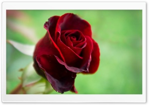 Soft Red Rose HD Wide Wallpaper for Widescreen