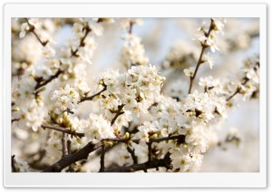 Sour Cherry Blossoms HD Wide Wallpaper for Widescreen