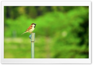 Sparrow HD Wide Wallpaper for Widescreen