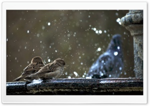 Sparrows HD Wide Wallpaper for Widescreen