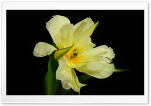 Species Tulip Ultra HD Wallpaper for 4K UHD Widescreen desktop, tablet & smartphone
