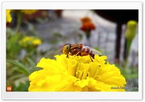 Speckle-eyed Drone Hoverfly Ultra HD Wallpaper for 4K UHD Widescreen desktop, tablet & smartphone