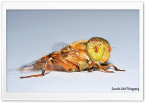Speckle-eyed Drone Hoverfly macro HD Wide Wallpaper for Widescreen