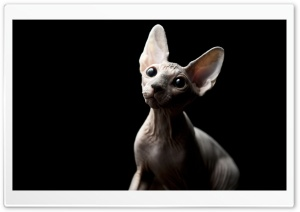 Sphynx Cat HD Wide Wallpaper for 4K UHD Widescreen desktop & smartphone