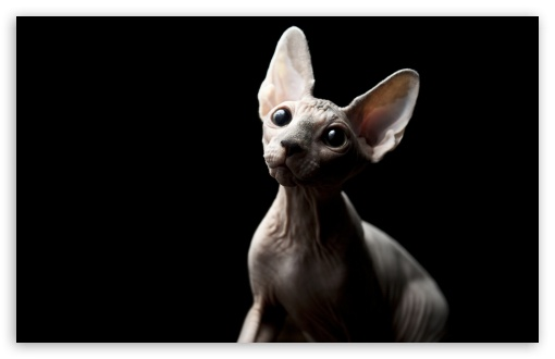 Sphynx Cat ❤ 4K UHD Wallpaper for Wide 16:10 5:3 Widescreen WHXGA WQXGA WUXGA WXGA WGA ; 4K UHD 16:9 Ultra High Definition 2160p 1440p 1080p 900p 720p ; Standard 4:3 5:4 3:2 Fullscreen UXGA XGA SVGA QSXGA SXGA DVGA HVGA HQVGA ( Apple PowerBook G4 iPhone 4 3G 3GS iPod Touch ) ; Tablet 1:1 ; iPad 1/2/Mini ; Mobile 4:3 5:3 3:2 16:9 5:4 - UXGA XGA SVGA WGA DVGA HVGA HQVGA ( Apple PowerBook G4 iPhone 4 3G 3GS iPod Touch ) 2160p 1440p 1080p 900p 720p QSXGA SXGA ;