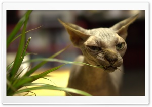 Sphynx Cat HD Wide Wallpaper for Widescreen