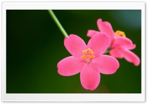 Spicy Jatropha HD Wide Wallpaper for Widescreen
