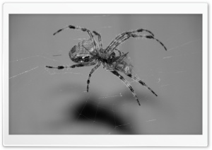 Spider Eating HD Wide Wallpaper for Widescreen