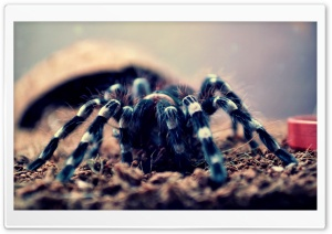 Spider Geniculata HD Wide Wallpaper for Widescreen