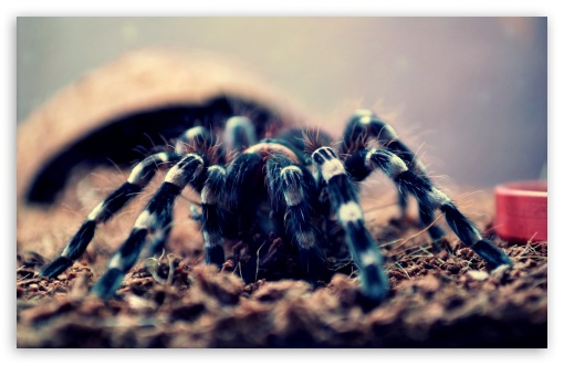 Spider Geniculata ❤ 4K UHD Wallpaper for Wide 16:10 5:3 Widescreen WHXGA WQXGA WUXGA WXGA WGA ; 4K UHD 16:9 Ultra High Definition 2160p 1440p 1080p 900p 720p ; Standard 3:2 Fullscreen DVGA HVGA HQVGA ( Apple PowerBook G4 iPhone 4 3G 3GS iPod Touch ) ; Mobile 5:3 3:2 - WGA DVGA HVGA HQVGA ( Apple PowerBook G4 iPhone 4 3G 3GS iPod Touch ) ;