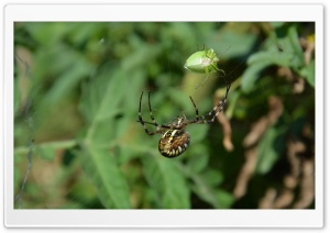 Spider hunting HD Wide Wallpaper for Widescreen