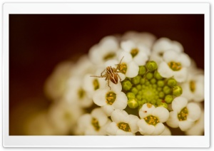 Spider On A White Flower HD Wide Wallpaper for 4K UHD Widescreen desktop & smartphone