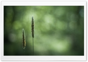 Spikelets HD Wide Wallpaper for Widescreen