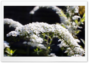 Spiraea Arguta Flowers HD Wide Wallpaper for Widescreen