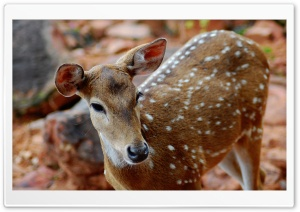 Spotted Deer HD Wide Wallpaper for Widescreen