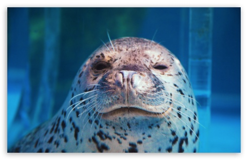 Download Spotted Seal Winking UltraHD Wallpaper