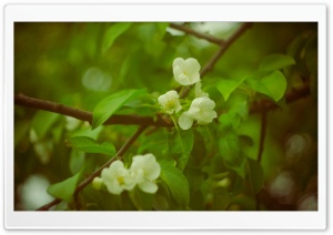 Spring Apple Flowers HD Wide Wallpaper for Widescreen