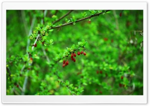 Spring Berries and Leaves HD Wide Wallpaper for Widescreen