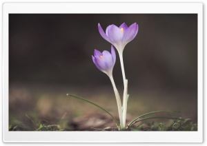 Spring Blooming Crocus Flowers HD Wide Wallpaper for Widescreen